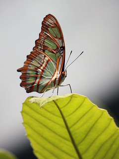 Malachite butterfly 62_edited-1 | by mishaleppert