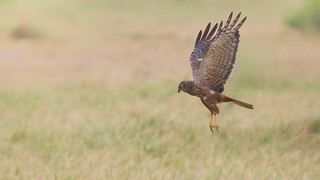 African Marsh Harrier | by Tarique Sani