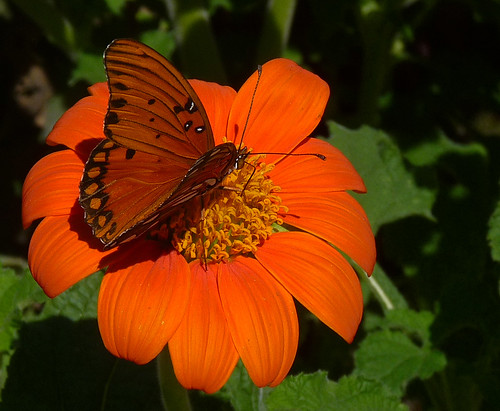 Gulf Fritillary on Mexican Sunflower | by csuzanne