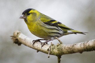 Siskin | by Gareth Christian