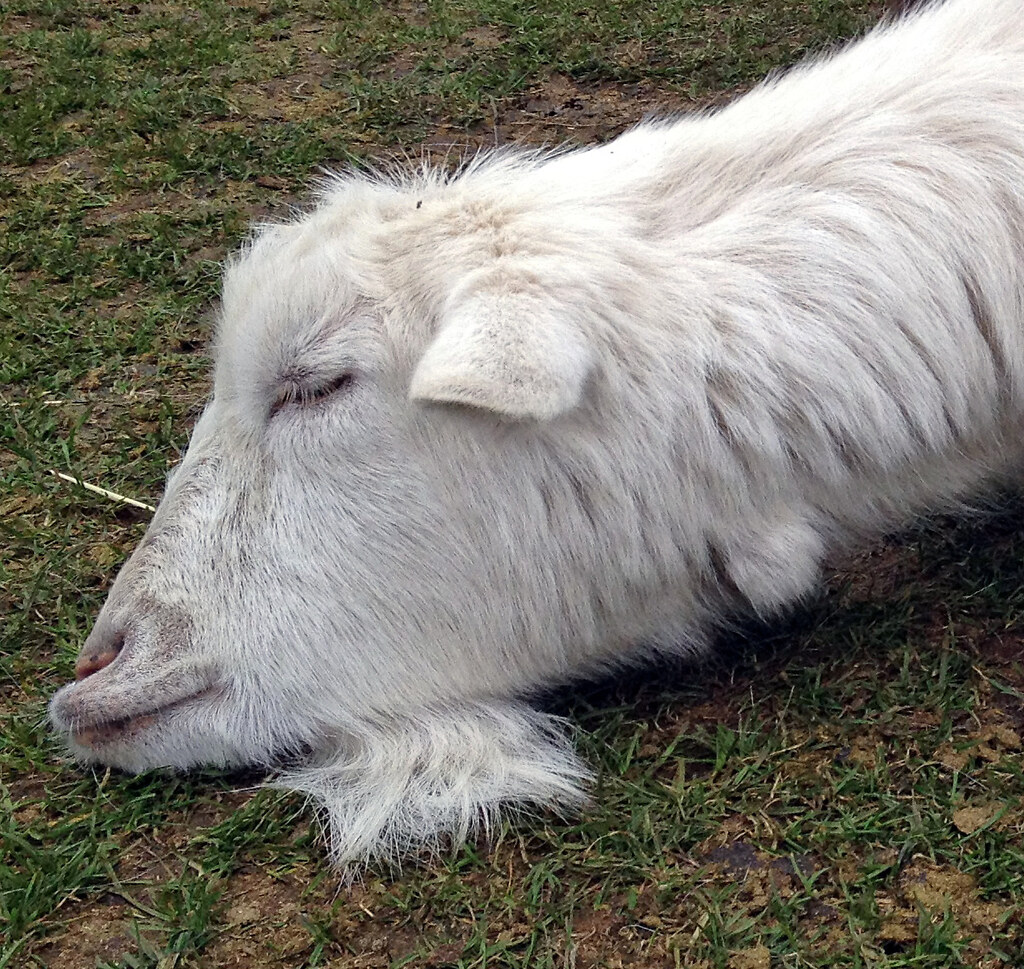 What does the goat dream about