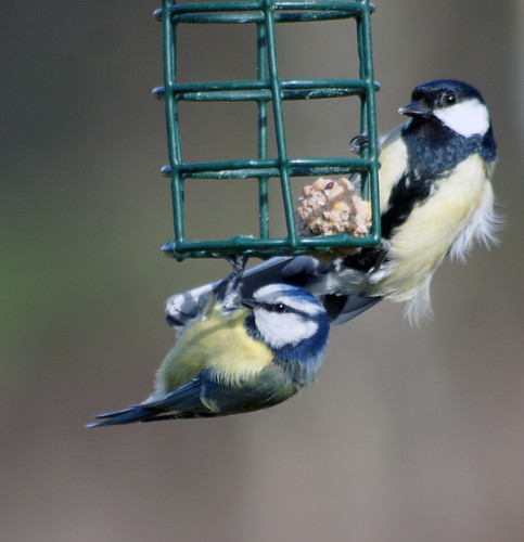 Blue tit & Great tit. | by Tim Walton Photography.