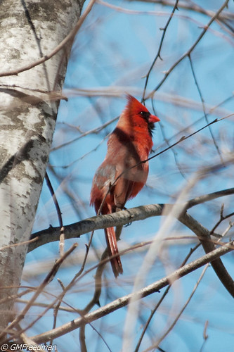 Northern Cardinal | by kingfisherchatters