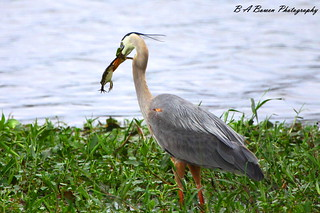 Great Blue Heron feasts on a frog | by B A Bowen Photography