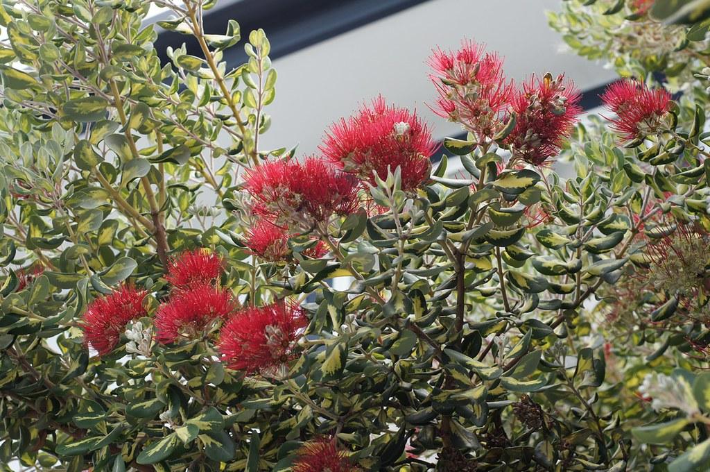 ... New Zealand Christmas Tree In Australia (cultivar) | By Tatters ✾