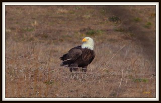 Bald Eagle | by frank1556