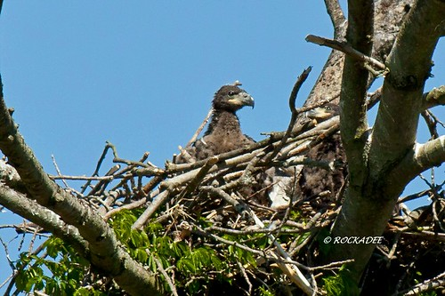 Growing Up Eagles | by ROCKADEE_Two With Eagles 1951 / Rockey & Dee