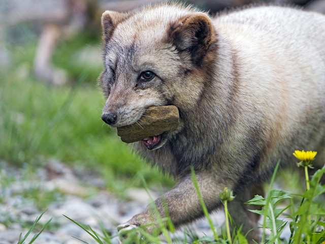 Polar fox with stone in the mouth