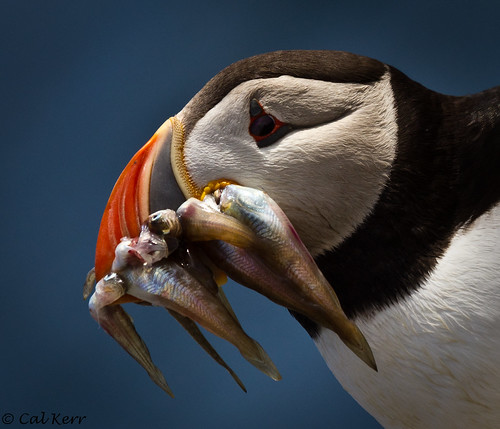 Puffin Marvellous | by Cal Kerr