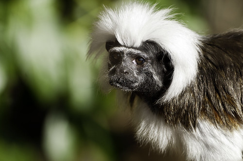 Cotton Top Tamarin | by Robert Franklin Photography.com