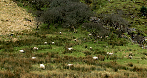 Sheep in Annascaul Mountains | by Barbara Walsh Photography