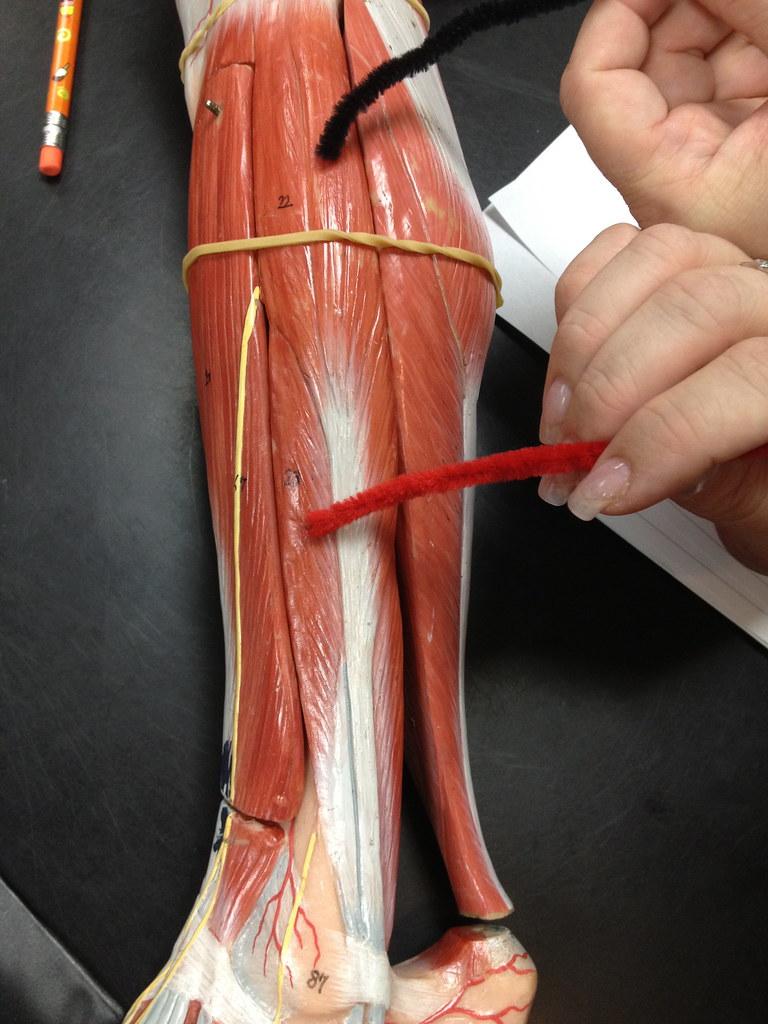 The peroneus muscles are labeled as peroneus longus peroneus brevis and peroneus tertius