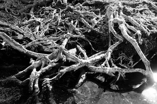 Crossed White Roots | by barkingduck99