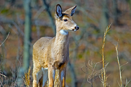White-tailed Deer | by Brian E Kushner