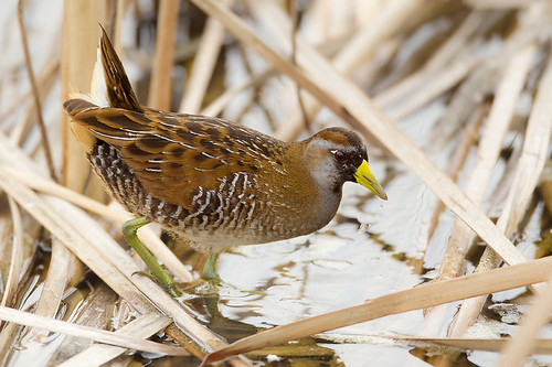 Sora in the Rushes | by Jeff Dyck