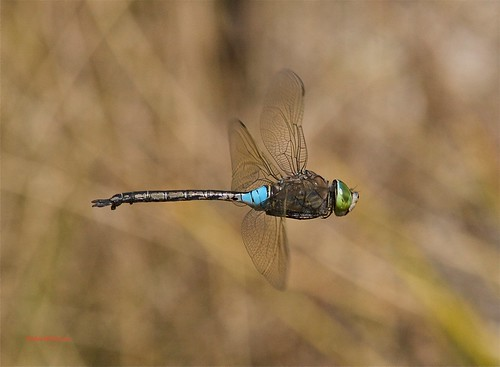 Anax parthenope-Lesser emperor | by  BlezSP