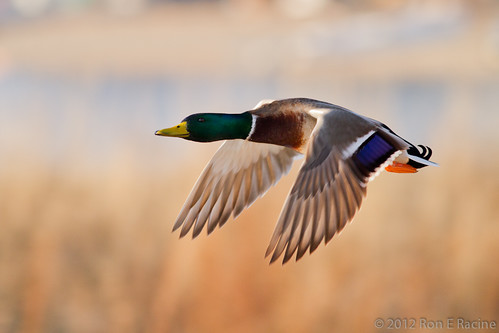 Mallards in Flight | by rracine1