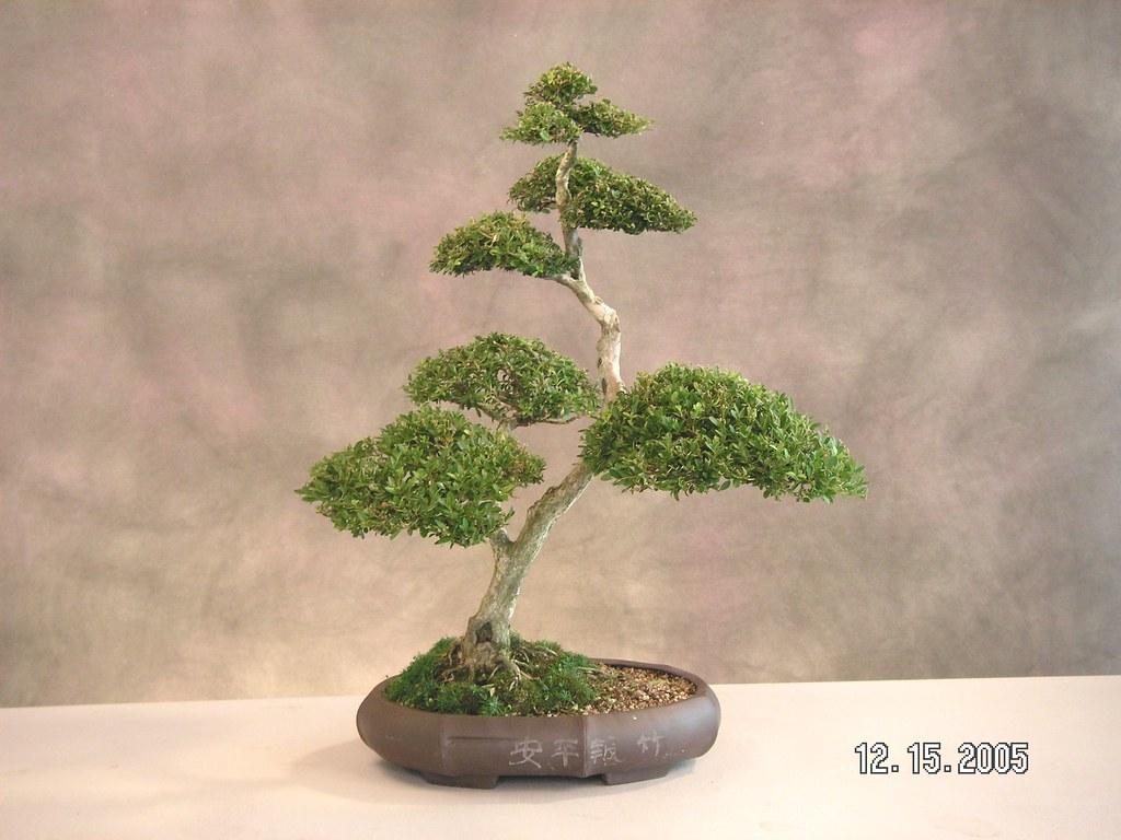 Bonsai Tree Tampa Bonsai Tree