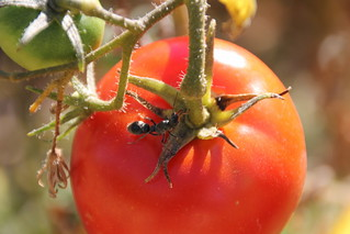 Ant on tomato | by henkel2009