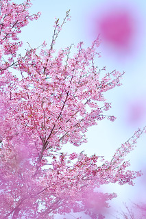 Missing petals...of cherry blossoms | by purple sakura