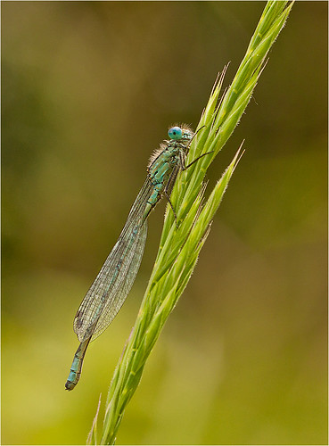 Teneral Blue Tail Damselfly | by Chris Beard - Images