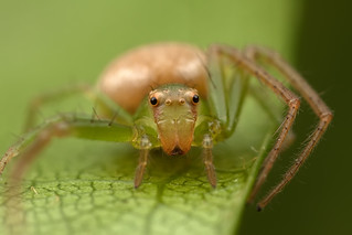 Crab spider | by kiernter