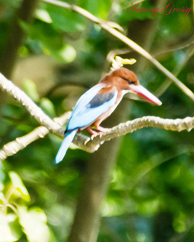 White Throated Kingfisher Side View | by AntoGros