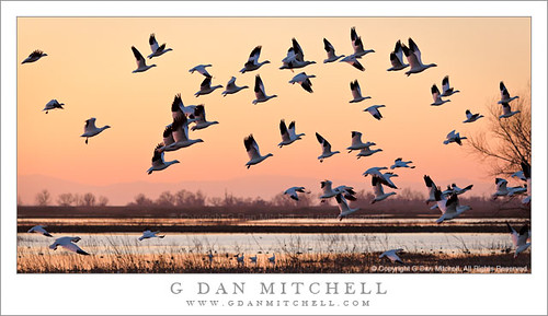 Ross's Geese Take Flight, Dusk | by G Dan Mitchell
