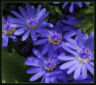 Alien Windflowers | by skagitrenee