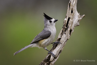 Black-crested Titmouse Poses | by brucefinocchio