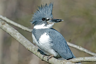 Belted Kingfisher | by Brian E Kushner