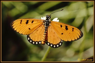 Tawny Coster - Acraea violae  Open Winged Location : MNP | by M Bug