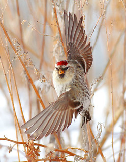 Common Redpoll | by prairiedog (in and out)