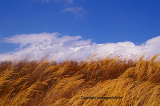 Amber Waves of Grain | by Photographybyjw