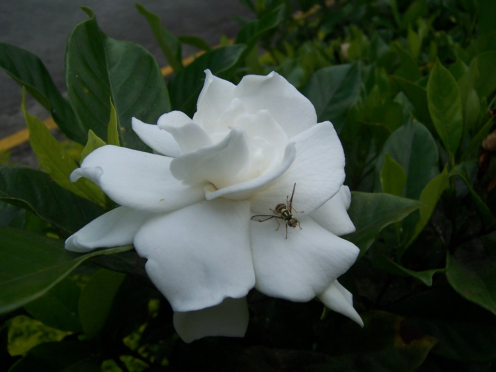 A White Sweet Smelling Flower Rosal With An Exotic Fly Flickr