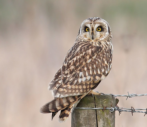 Short-eared owl - Asio flammeus (Explored) | by Roger H3