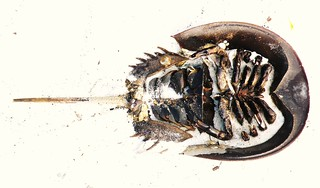 Horseshoe Crab (underside) | by The Photom