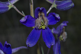 Upland Larkspur | by Montucky