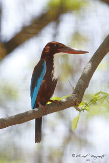 white throated kingfisher | by Arvind Manjunath