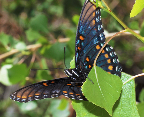 Arizona Red-spotted Purple | by NatureNM
