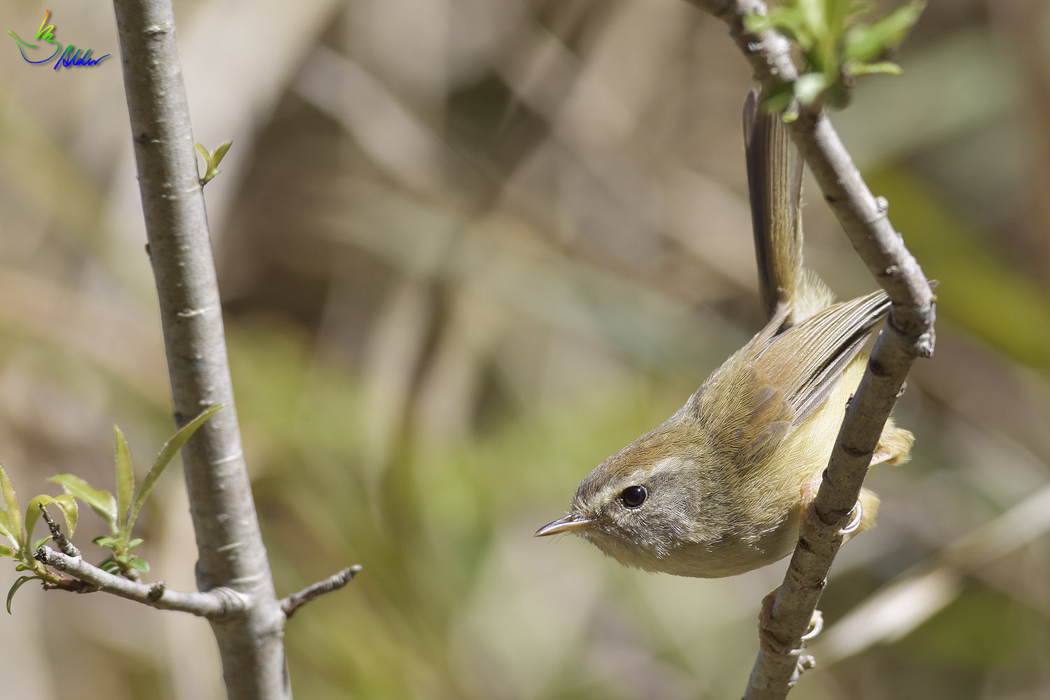 Yellow-bellied_Bush_Warbler_5061