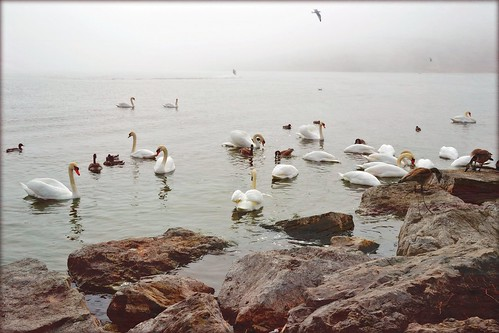 Swans in the Bay | by blmiers2