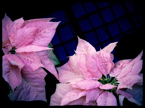Yule Like Pink Poinsettias Poinsettias Against A Subtle