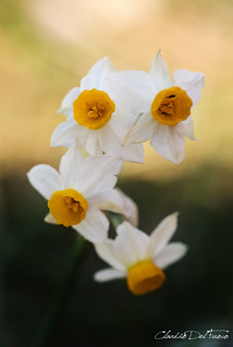 Narcissus tazetta | by claudiodelfuoco