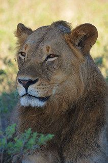 Male Lion | by SAFARI AND GUIDE SERVICES PHOTOS