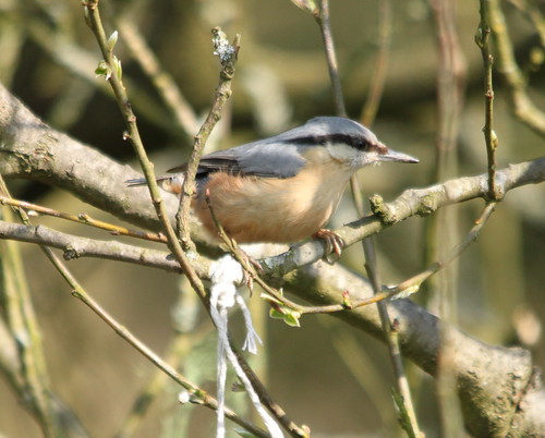 Nuthatch | by S C photos