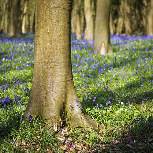 Bluebell Wood, Gloucestershire UK | by Weeman76