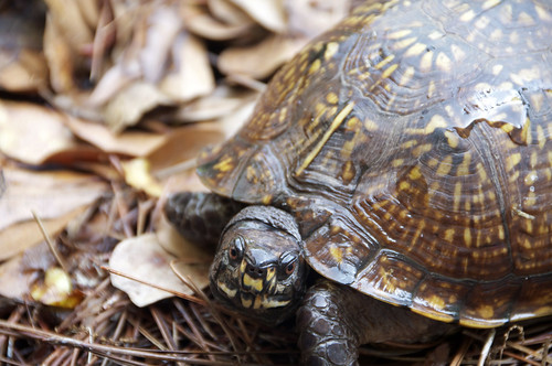 DSC_7849 Eastern Box Turtle | by Louise T Childs