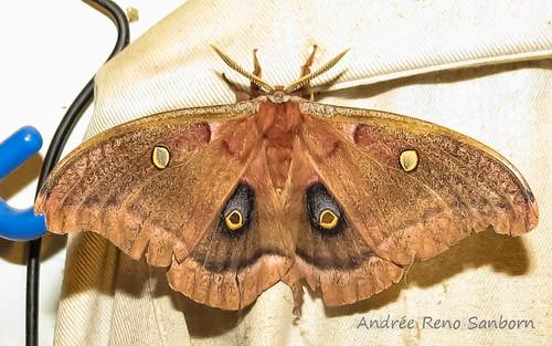 Polyphemus Moth - Hodges#7757 (Antheraea polyphemus)