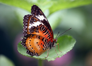 Lacewing butterfly 46_edited-1 | by mishaleppert